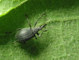 Apioninae · apionai