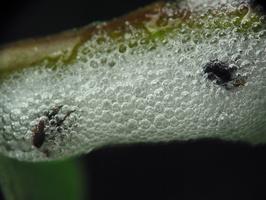 Aphrophoridae froth? · putinės cikados putos
