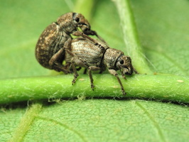 Strophosoma capitatum mating · šeriuotasis straubliukas poruojasi