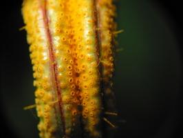 Puccinia urticata · rūdė