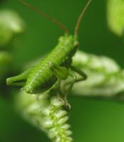 Tettigoniidae nymph · žiogo nimfa