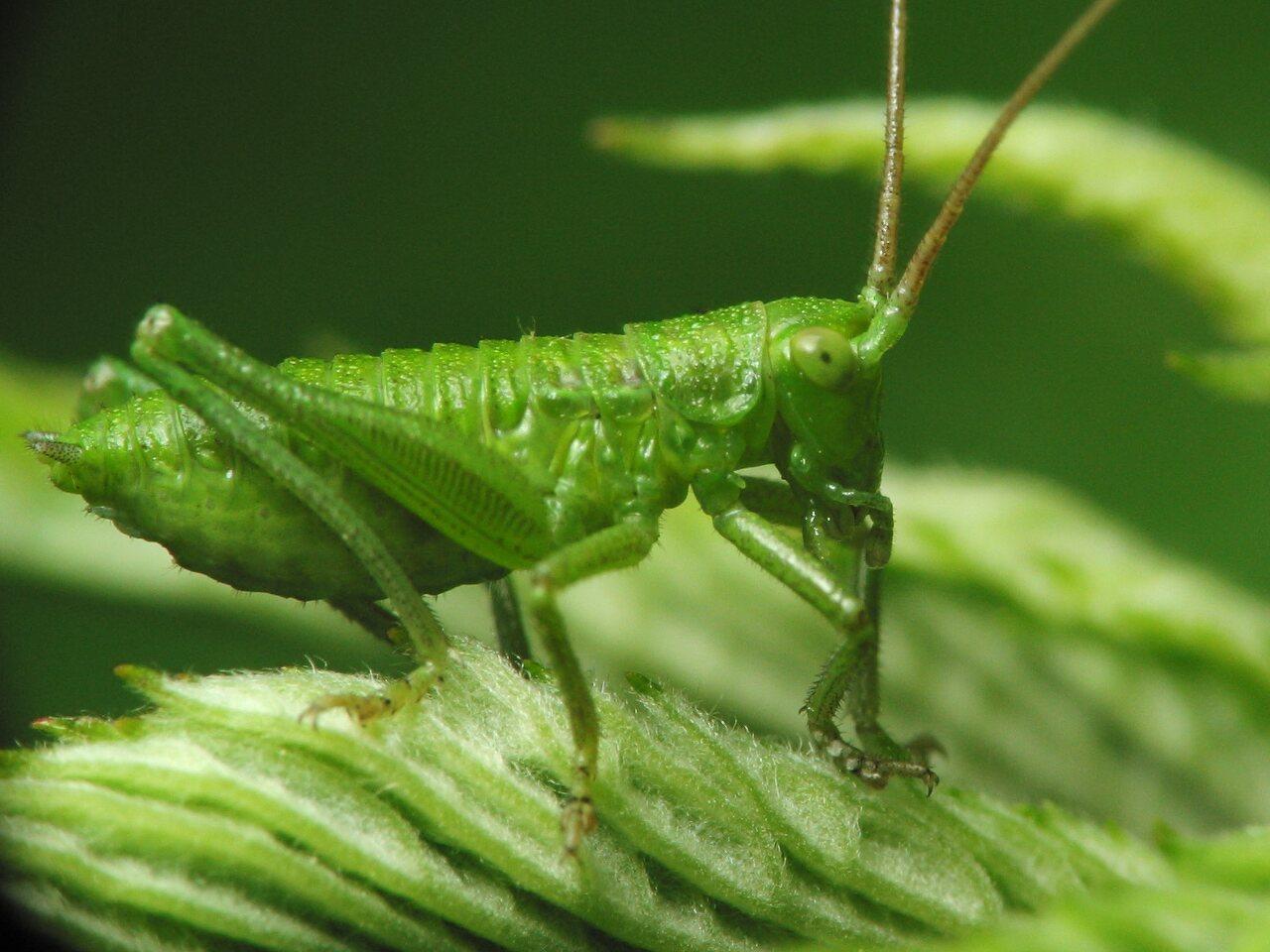 Tettigoniidae-nymph-1656.jpg