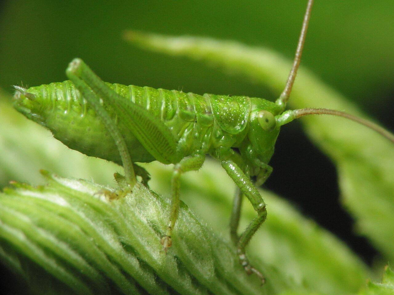 Tettigoniidae-nymph-1654.jpg