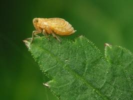 Cicadomorpha · cikada