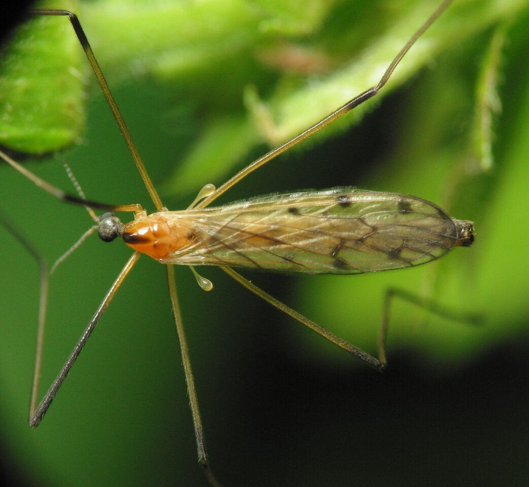 Limoniidae-1674.jpg