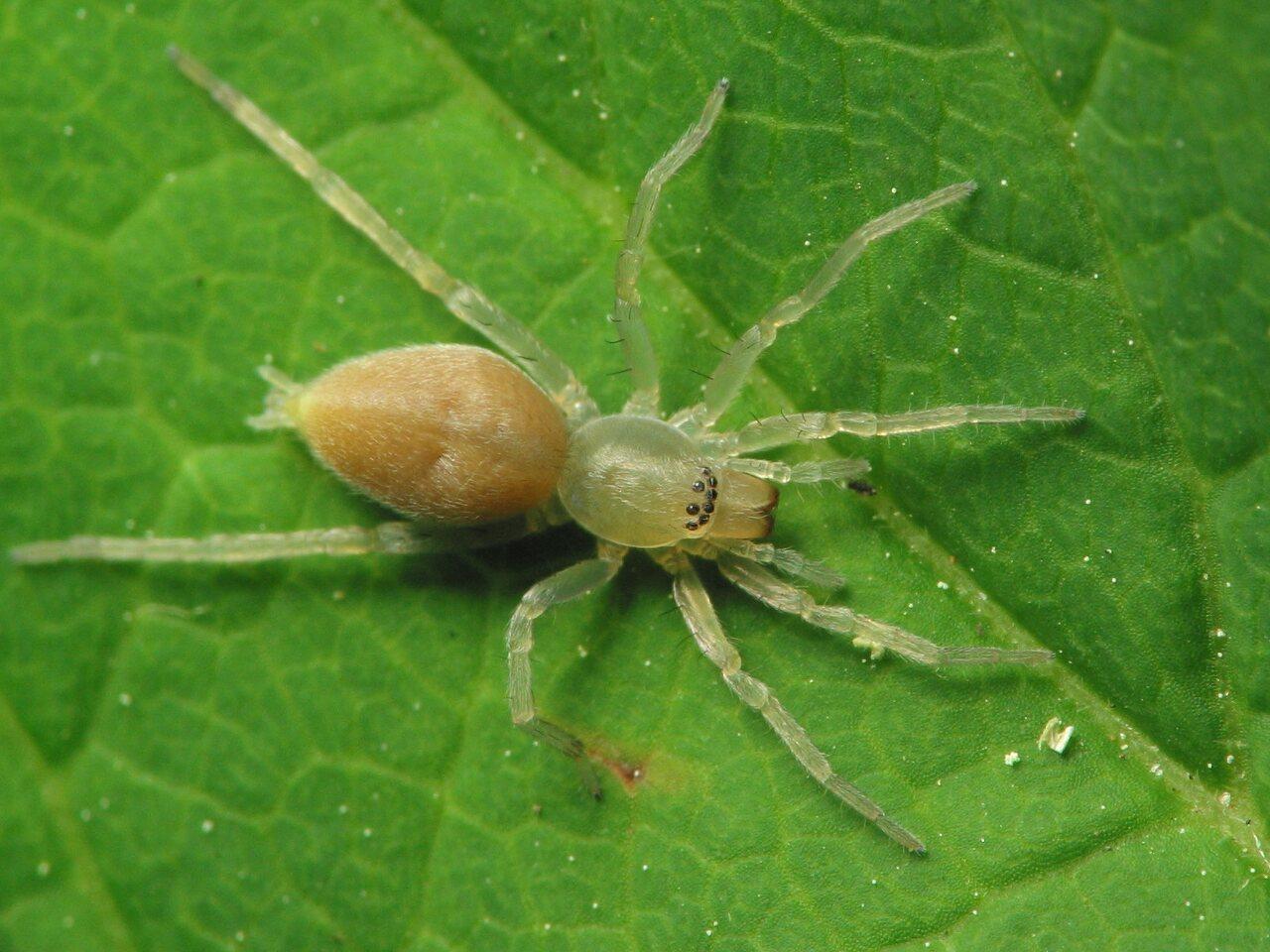 Clubionidae-1704.jpg
