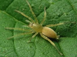 Clubionidae · maišiavoris