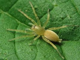Clubionidae · maišiavoriai
