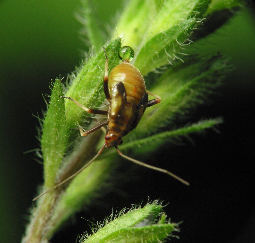 Heteroptera-nymph-1728.jpg