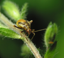 Miridae nymph · žolblakės nimfa 1731