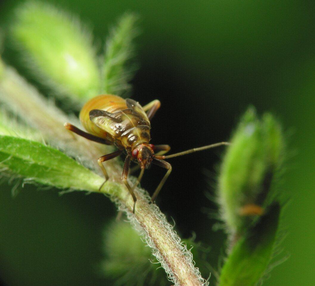 Heteroptera-nymph-1731.jpg