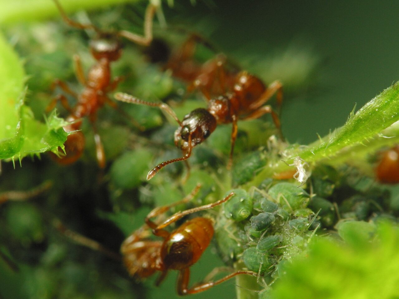 Formicidae-1745.jpg