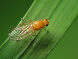 Diptera 1752