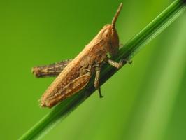 Acrididae nymph · skėrio nimfa
