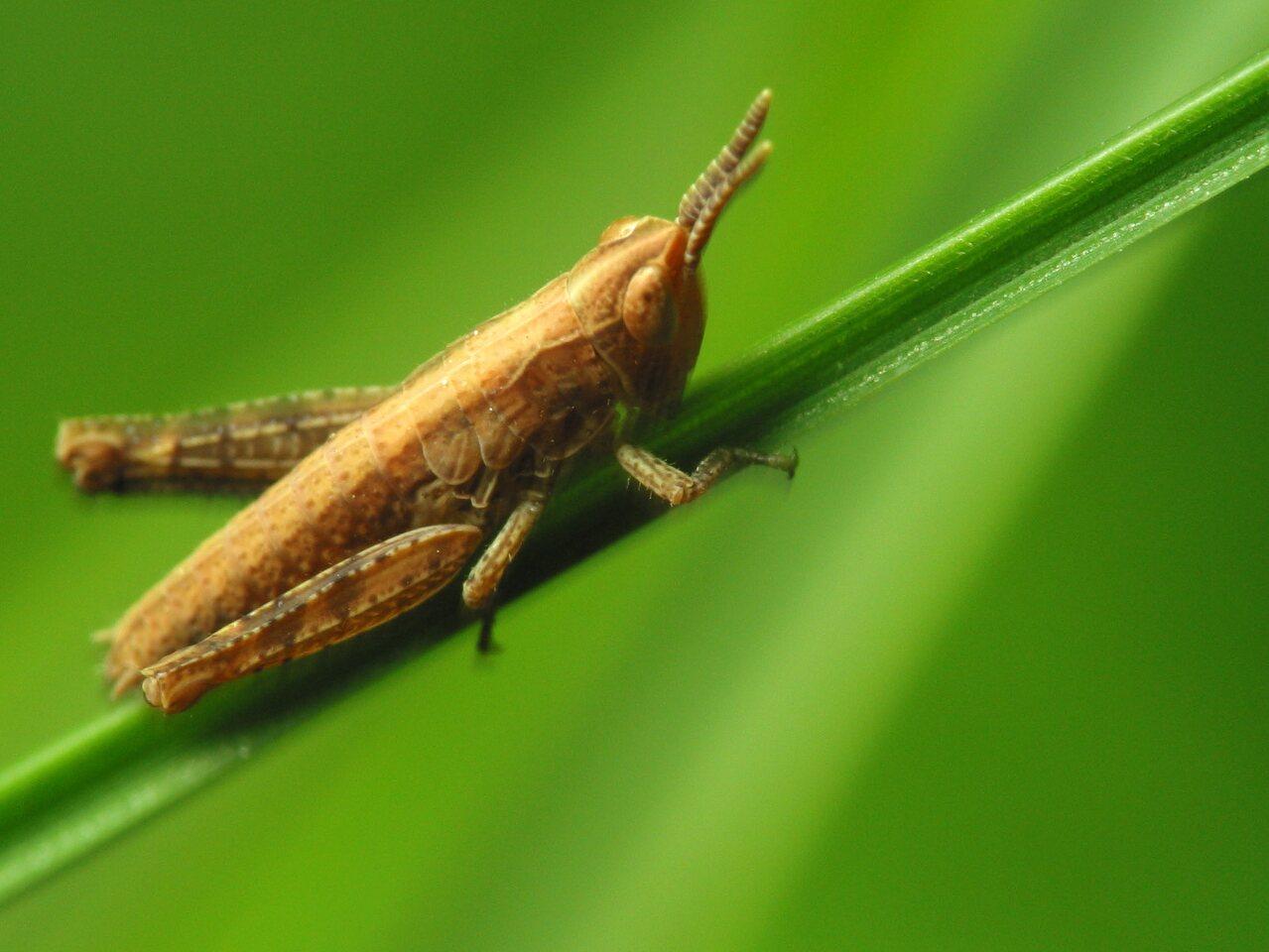 Acrididae-1773.jpg