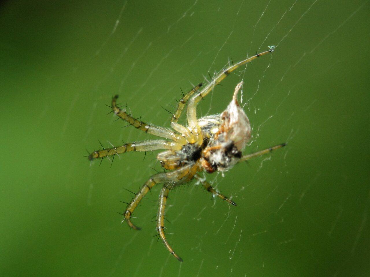 Araneae-1777.jpg