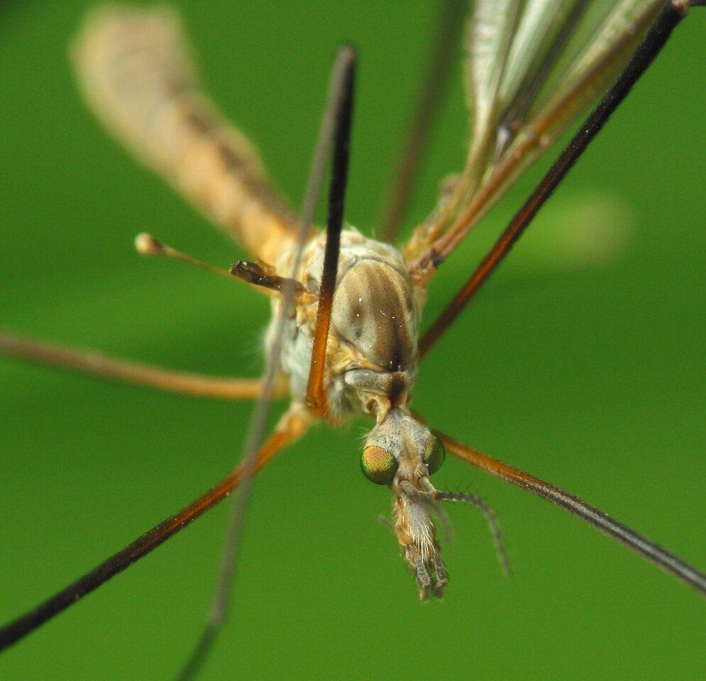 Tipulidae-1779.jpg