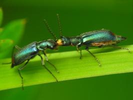 Malachius bipustulatus mating ritual · dvidėmis pūsliavabalis poruojasi
