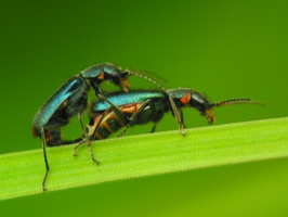 Malachius bipustulatus mating · dvidėmis pūsliavabalis poruojasi