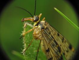 Panorpa communis · paprastoji skorpionmusė