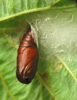 Insect pupa