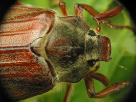 Melolontha melolontha male · paprastasis grambuolys ♂