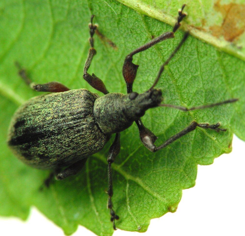 Curculionidae-1896.jpg