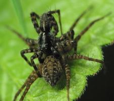 Lycosidae mating · plėšriavoriai poruojasi