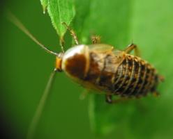 Ectobius lapponicus, young female · laplandinis prūsokas, jauna ♀