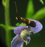 Cauchas fibulella · mažoji ilgaūsė makštinė kandis