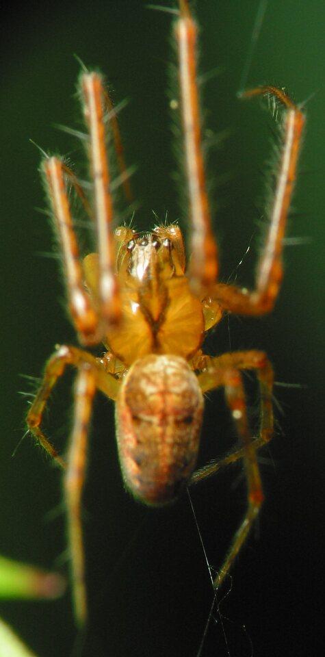 Tetragnathidae-2134.jpg
