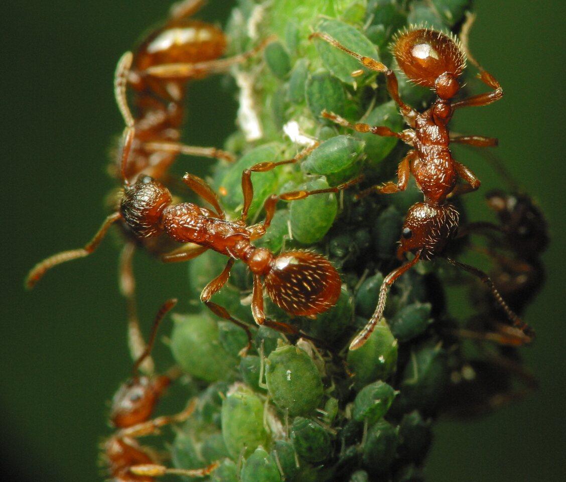 Formicidae-2145.jpg
