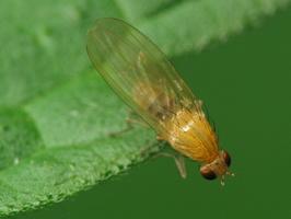 Diptera 2166