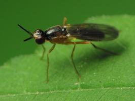 Diptera 2168