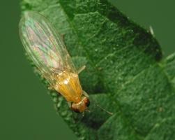 Diptera 2167