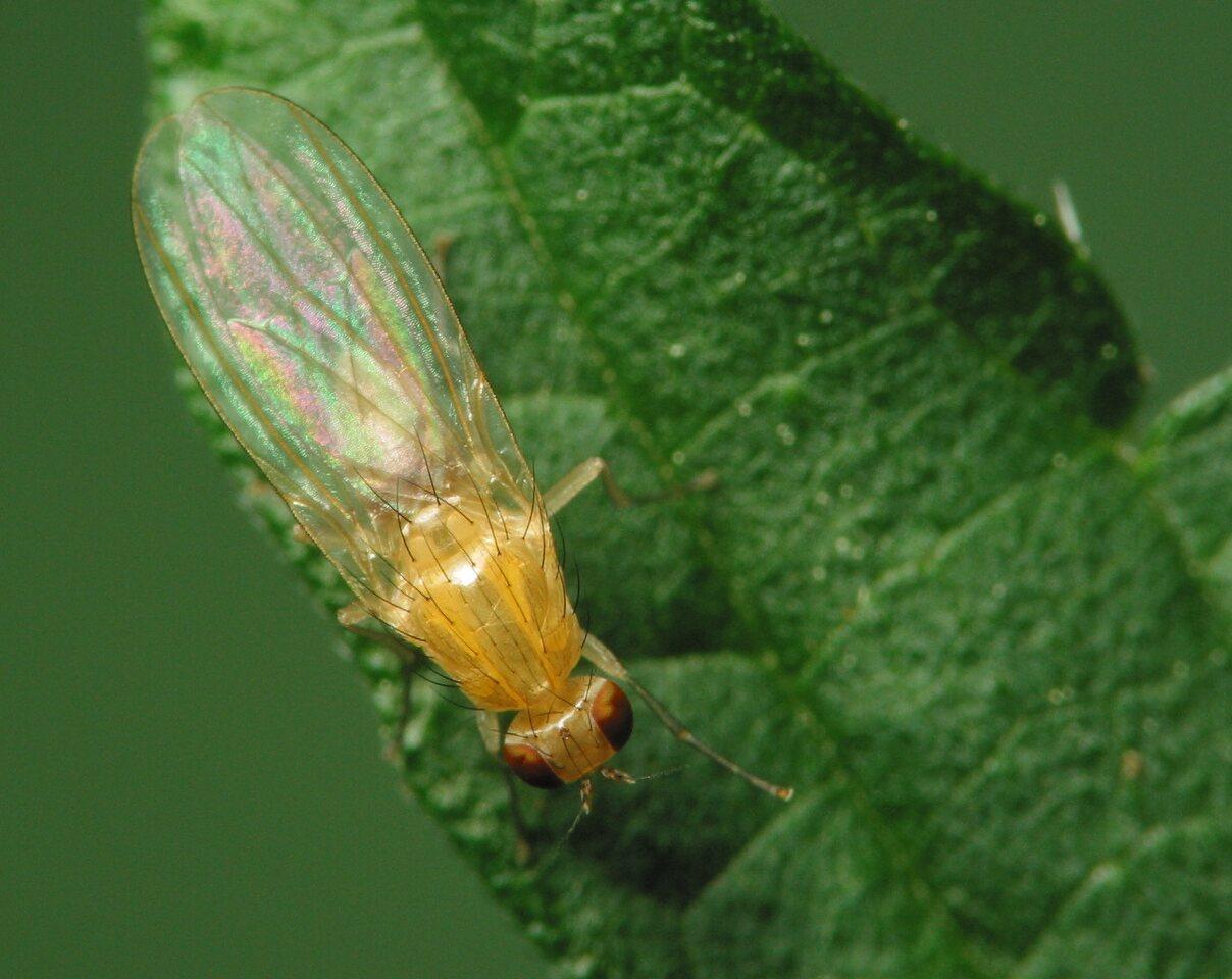 Diptera-2167.jpg