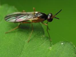 Diptera 2170