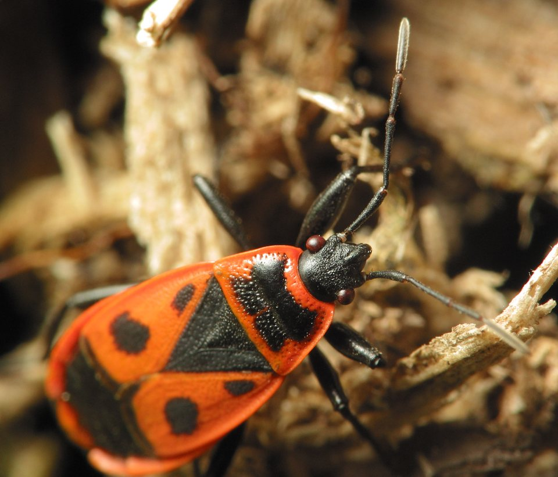 Pyrrhocoris-apterus-2179.jpg