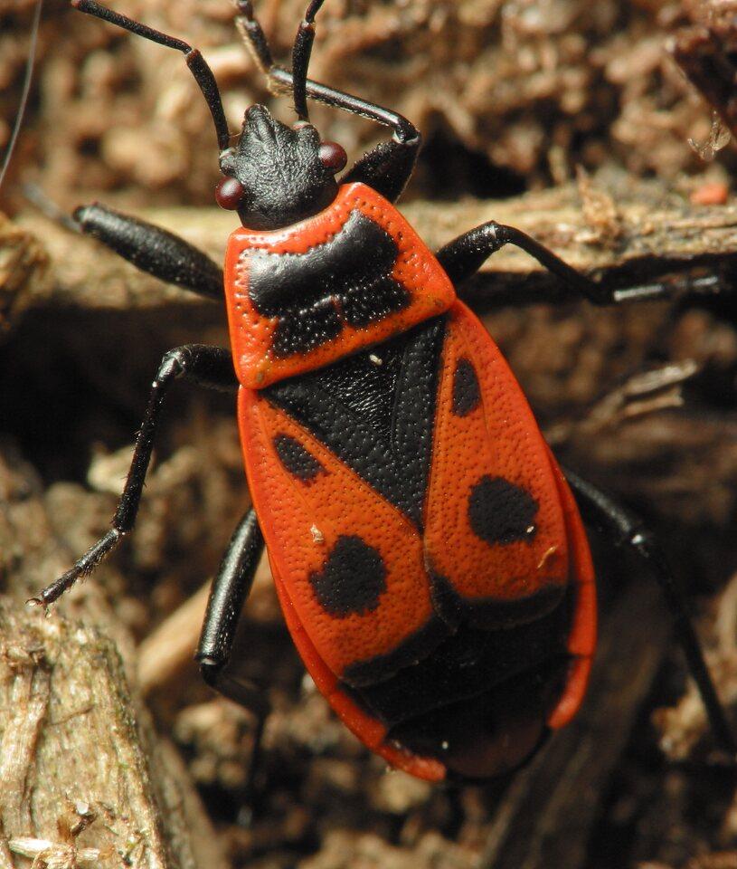 Pyrrhocoris-apterus-2182.jpg