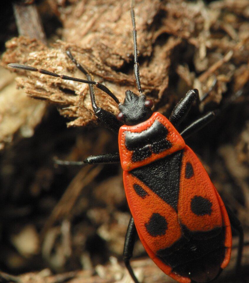 Pyrrhocoris-apterus-2180.jpg