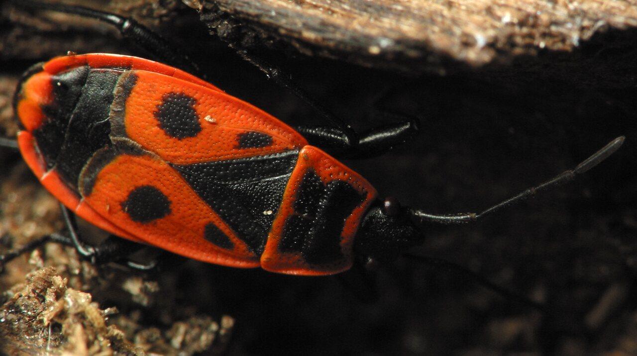 Pyrrhocoris-apterus-2184.jpg