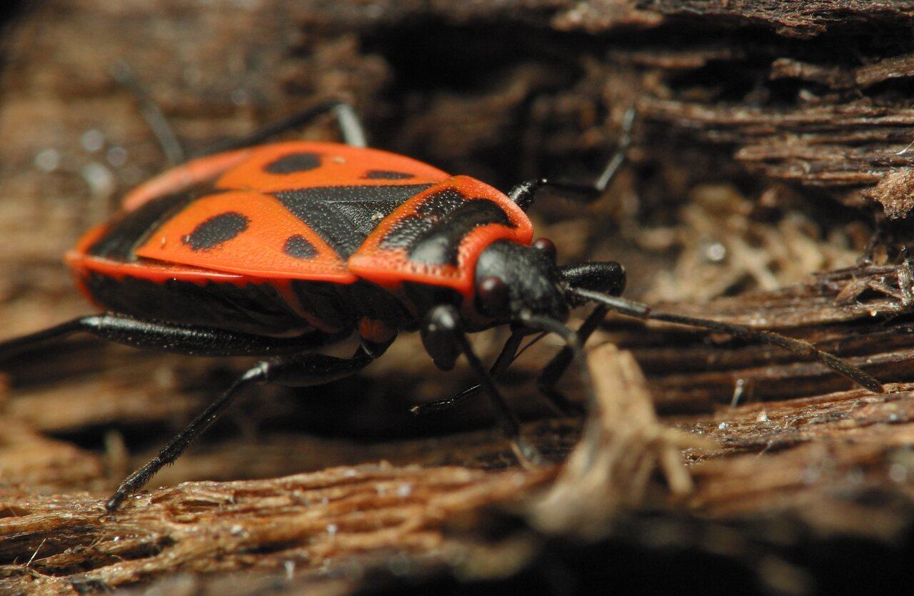 Pyrrhocoris-apterus-2186.jpg