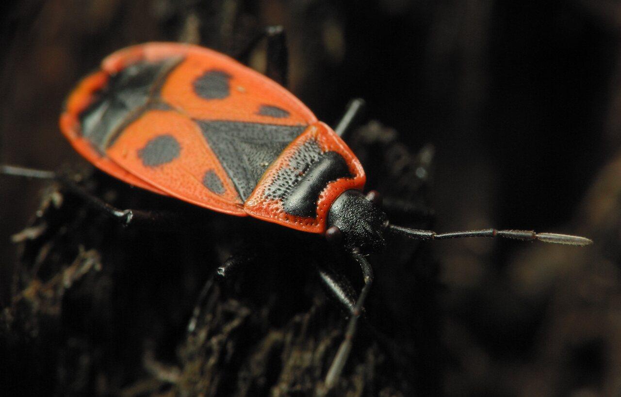 Pyrrhocoris-apterus-2190.jpg