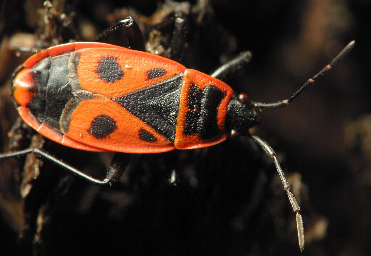 Pyrrhocoris-apterus-2191.jpg