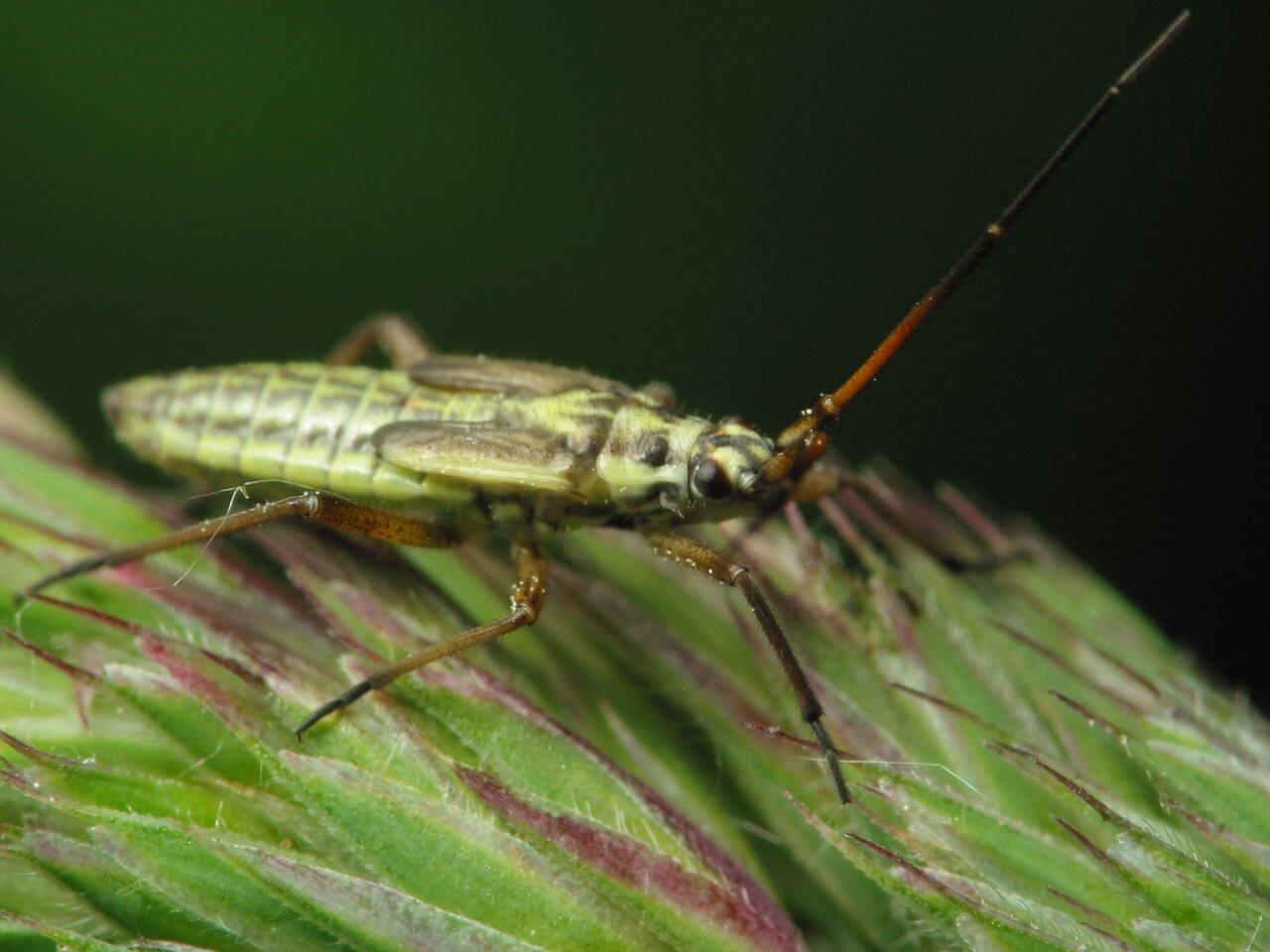 Leptopterna-dolabrata-2248.jpg