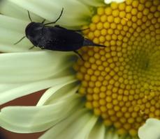 Mordellidae · dygliavabalis