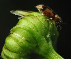 Notoxus monoceros · vienaragis mitriavabalis