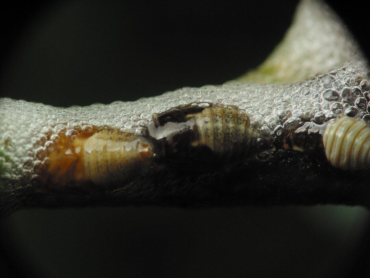 Aphrophoridae-2270.jpg