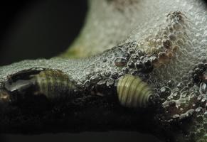 Aphrophoridae · putinės cikados