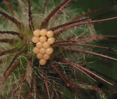 Heteroptera eggs 2275